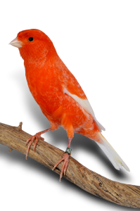 Canari-couleur